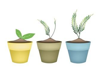 Lovely Green Trees in Terracotta Flower Pots