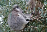 Koala in an Eucalyptus tree in Australia