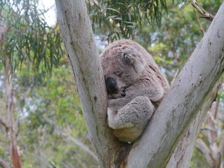 Koala in an Eucalyptus tree in Australia
