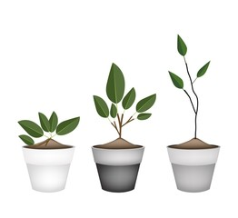 Three Ornamental Trees in Ceramic Flower Pots