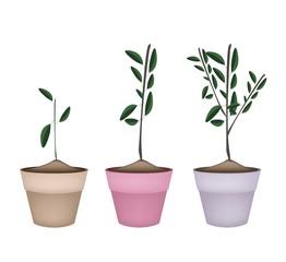 Beautiful Ornamental Trees in Ceramic Flower Pots