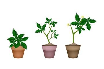 Fresh Okra Plant in Ceramic Flower Pots