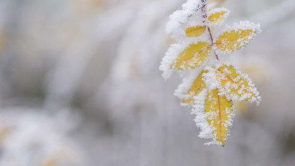 yellow bush frozen leaves in winter day, copyspace shoot in RAW