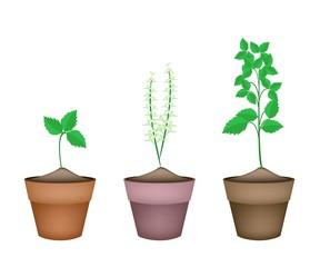 Holy Basil Plants in Ceramic Flower Pots
