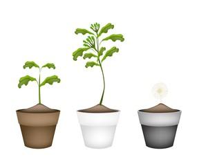 Fresh Clove Plant in Ceramic Flower Pots