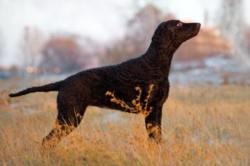 black curly coated retriever dog