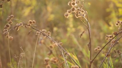 bur in autumn sun, pan movement