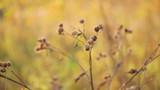 bur in autumn sun, pan movement poster