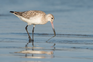 Bar-tailed Godwit (Limosa lapponica) pulling a worm out of the s