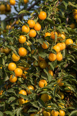 Ripe yellow plums on the tree.  Seasonal harvest. Ukraine.