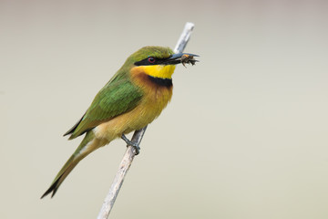 Little-Bee Eater (Merops pusillus) perched holding a bee