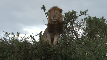 A big lion sitting on a bush
