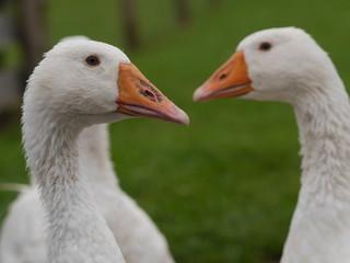 white goose outdoors