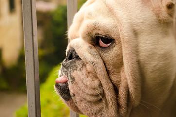 Cesare Bulldog Inglese