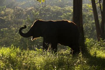 Silhouette of Elephant walking