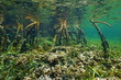 Mangrove underwater with coral and fish in roots