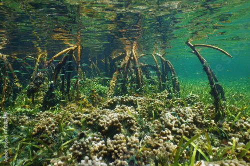 Fotobehang Koraalriffen Mangrove underwater with coral and fish in roots