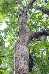 Vine and tree in asia forest
