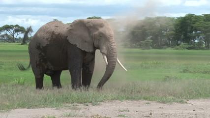 A bull elephant dust bathing himself.
