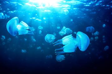 Jellyfish floating in deep blue water, Black Sea