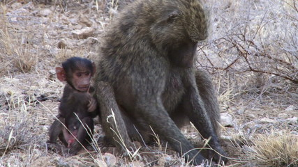 A baboon mother digs for roots with her baby on her side