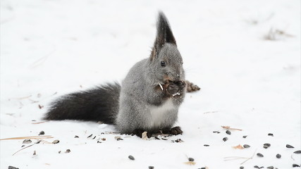 Squirrel eating on the snow