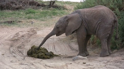 A baby elephant eating dung from mother