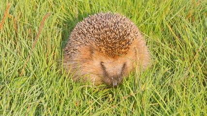 wild animal  hedgehog on  grass close up