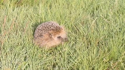 wild animal  hedgehog on  grass