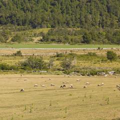 Sheep grazing in Araucania, Chile