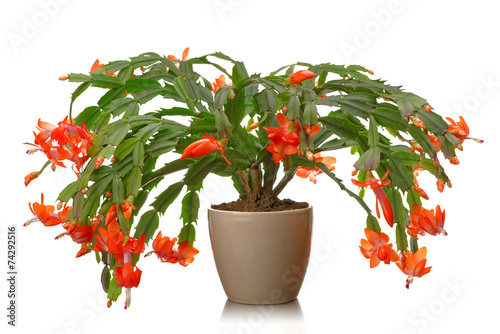 Fotobehang Cactus Christmas cactus