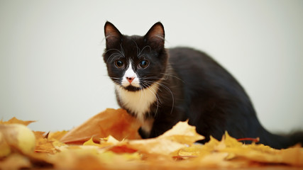 Black and white cat with autumn leaves.