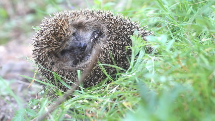 hedgehog in  green grass curled up  ball and sleeps