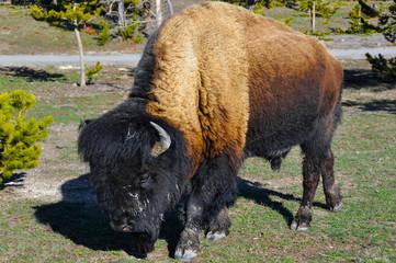 Bison, Yellowstone national park (USA)