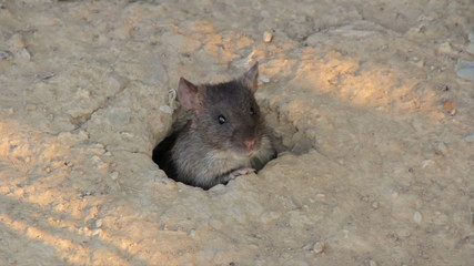 Big gray rat in their burrows
