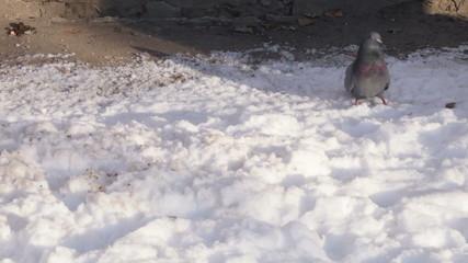 Doves on snow