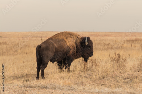 In de dag Buffel Bison