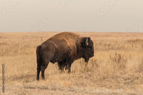 Foto op Aluminium Buffel Bison