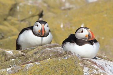 pulcinella di mare uccello acquatico marino scozia isole farne