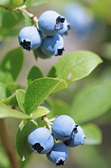 Juicy Blueberries Ripening On The Bush