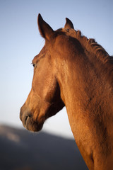 Thoroughbred horse head shot from behind sunset