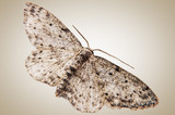 Nocturnal moth at rest