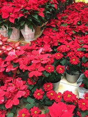 Potted poinsettia plants for sale at local farmers market.