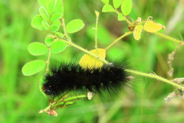 Black woolly worm, it becomes pretty butterfly.