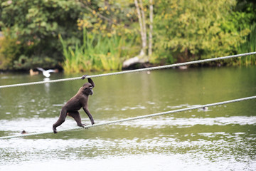 Sulawesi crested macaque moved across the pond.