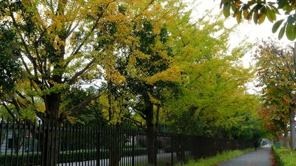 beautiful Ginkgo along the lenght of the street