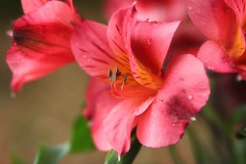 Pink Peruvian Lilies