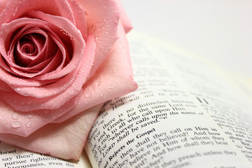 Pink Rose on an Open Bible Page.