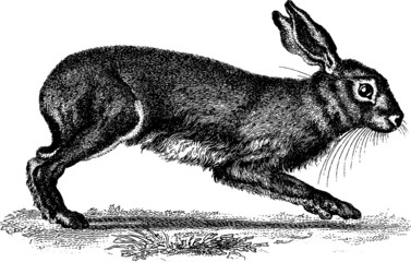 Vintage Illustration hare rabbit