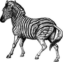 Vintage Illustration zebra